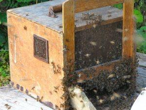 Honigbienen - Foto Klaus Reble