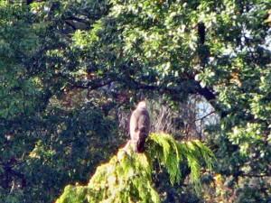 Rotmilan am Waldrand von Buoch - Wer beobachtet nun wen?